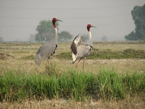 Sarus crane pair seen and photographed by Rohit near IITK