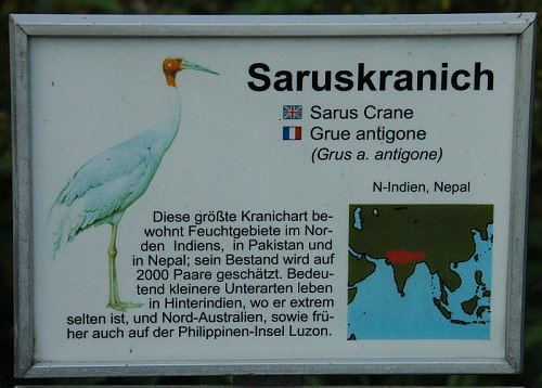 Sarus crane in North India
