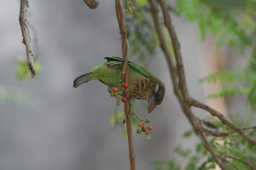 White cheeked barbet in India