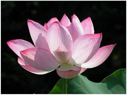 Lotus therapy: Mindful Meditation - Buddha's legacy