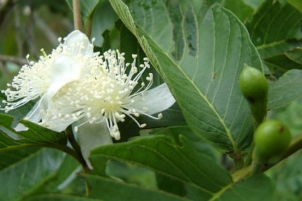 Guava tree in bloom