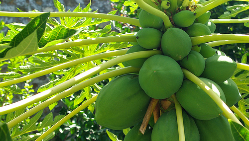 Papayas keep the liver healthy